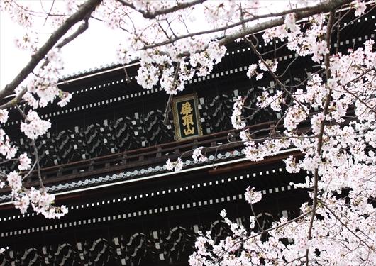 春桜の知恩院