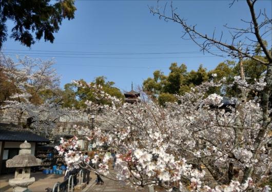 金戒光明寺お墓と桜