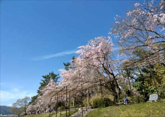 半木の道桜