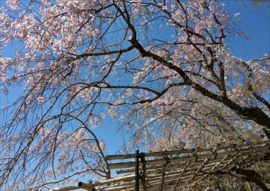 半木の道しだれ桜