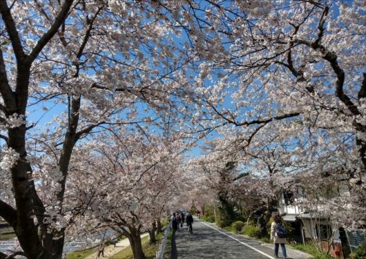 半木の道の北側桜