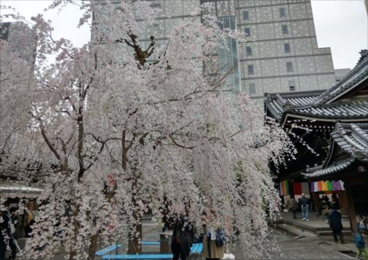 六角堂しだれ桜