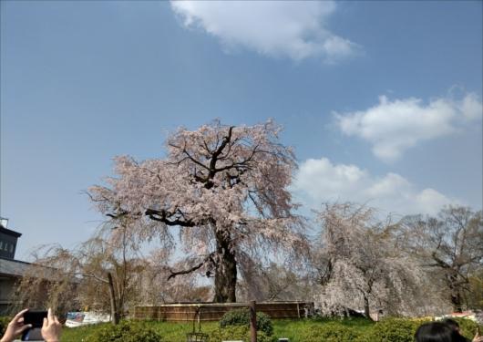 円山公園しだれ桜