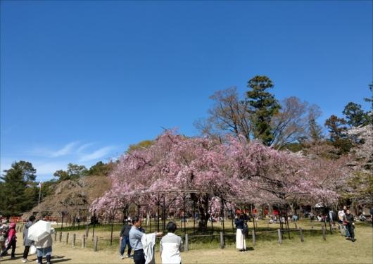上賀茂神社斎王桜