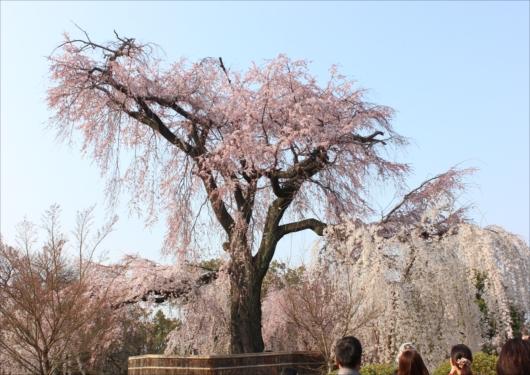 円山公園のしだれ桜
