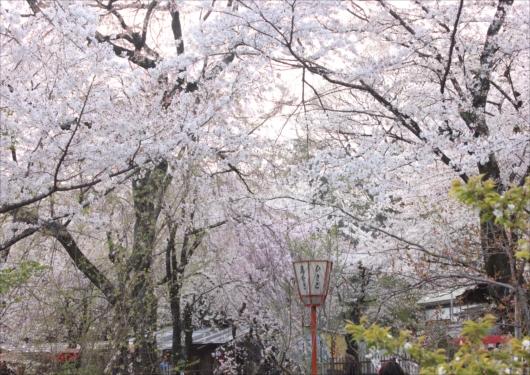 平野神社境内桜