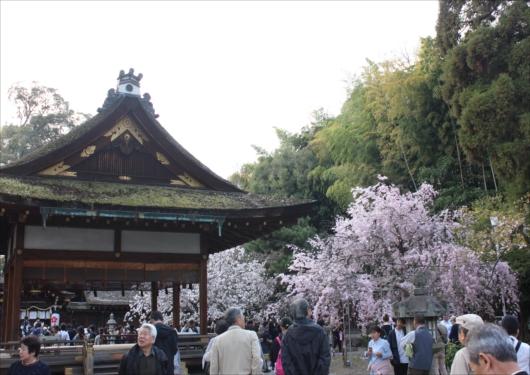 拝殿前の桜