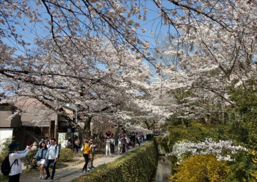哲学の道桜の時期の混雑