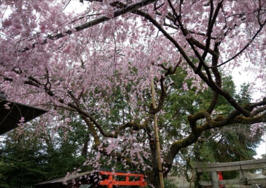 水火天満宮桜