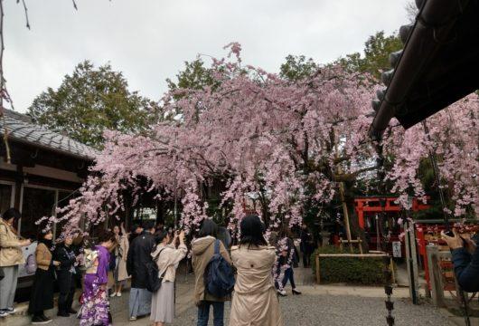 水火天満宮の紅しだれ桜