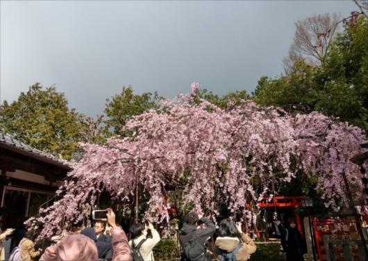 水火天満宮紅しだれ桜