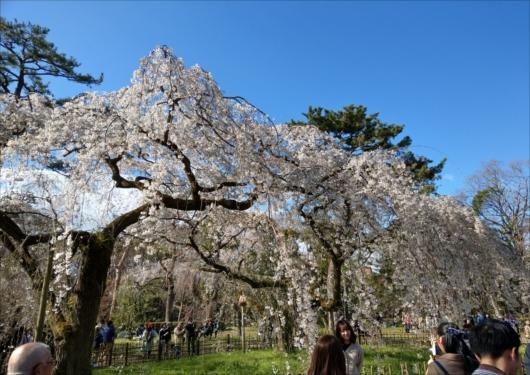 京都御苑近衛邸跡の桜