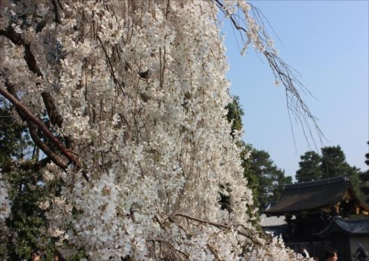 京都御苑近衛邸跡桜