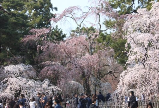 京都御苑近衛邸跡枝垂桜