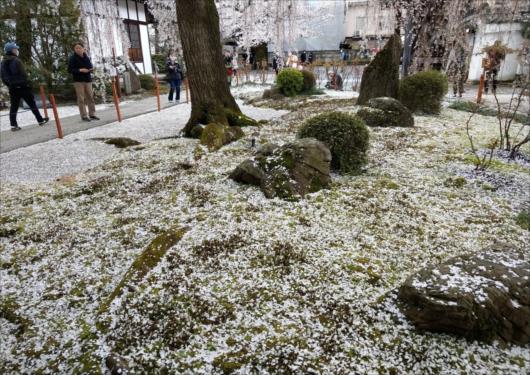 本満寺の枝垂れ桜散り始め