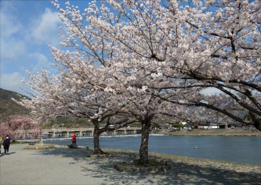 渡月橋と桜並木
