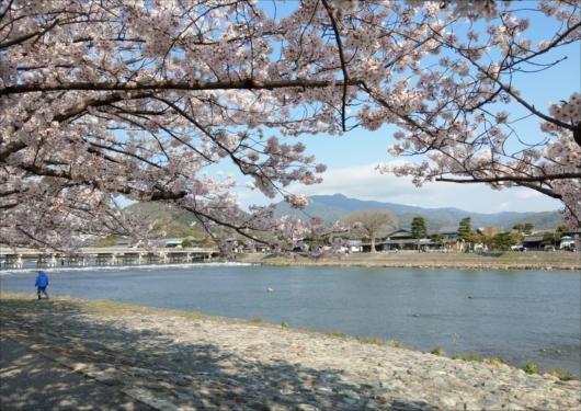 渡月橋の桜