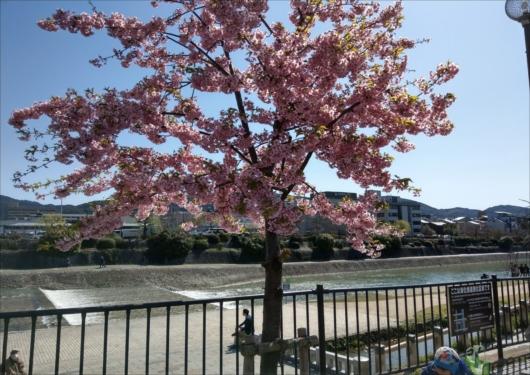 鴨川と河津桜