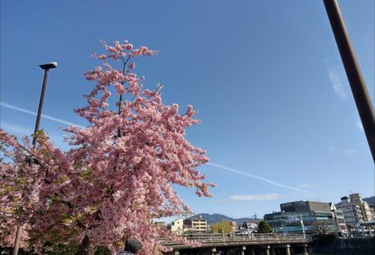 三条大橋河津桜