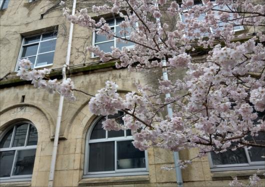 旧成徳中学校桜
