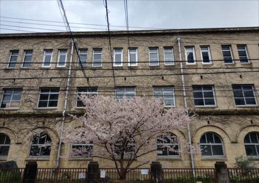 旧成徳中学校前の桜