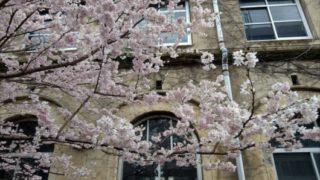 旧成徳中学校前の春めき桜