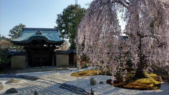 高台寺枝垂れ桜3月23日
