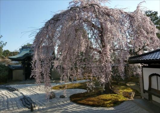 高台寺枝垂れ桜