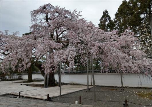 醍醐寺の桜三宝院
