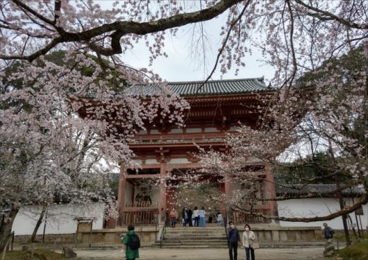 醍醐寺仁王門前桜