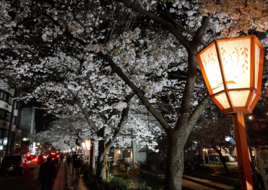 木屋町通り夜桜
